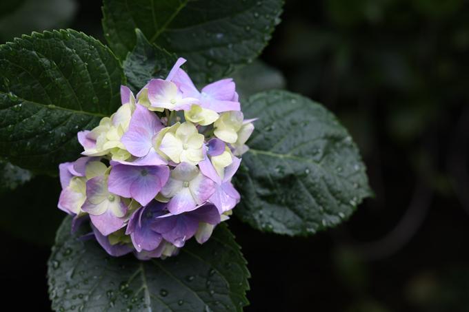紫陽花jpg.jpg