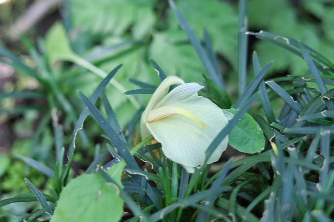 茗荷の花.jpg